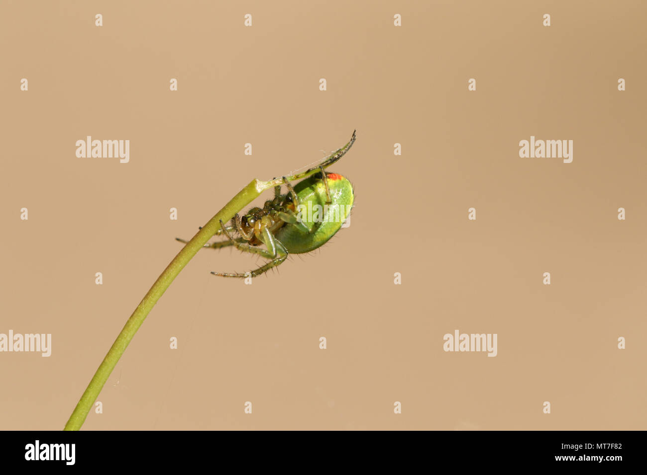 A pretty Cucumber Green Orb Spider ( Araniella cucurbitina sensu stricto) perching on the underside of a plant stem. - Stock Image