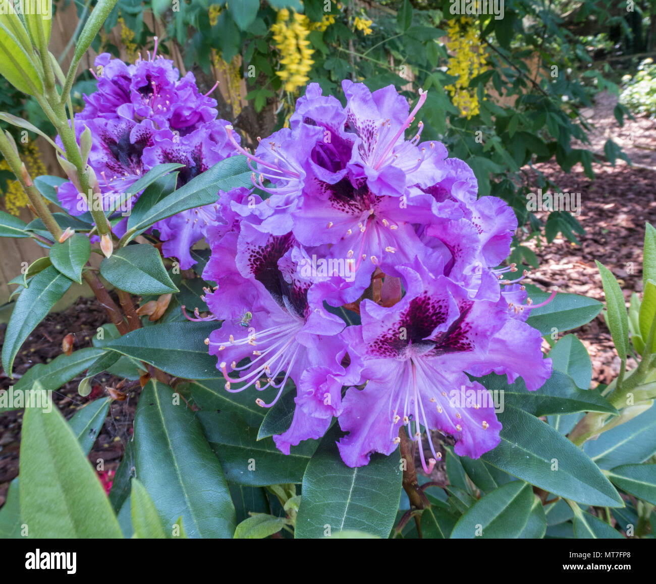 Rhododendron hybrid Blaue Jungs, tolerant of neutral soil conditions. - Stock Image