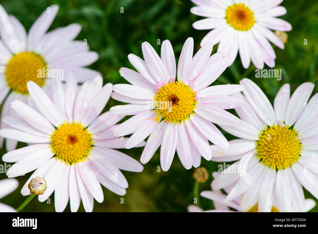 Closeup Of White Cape Daisy Flower Background Stock Photo