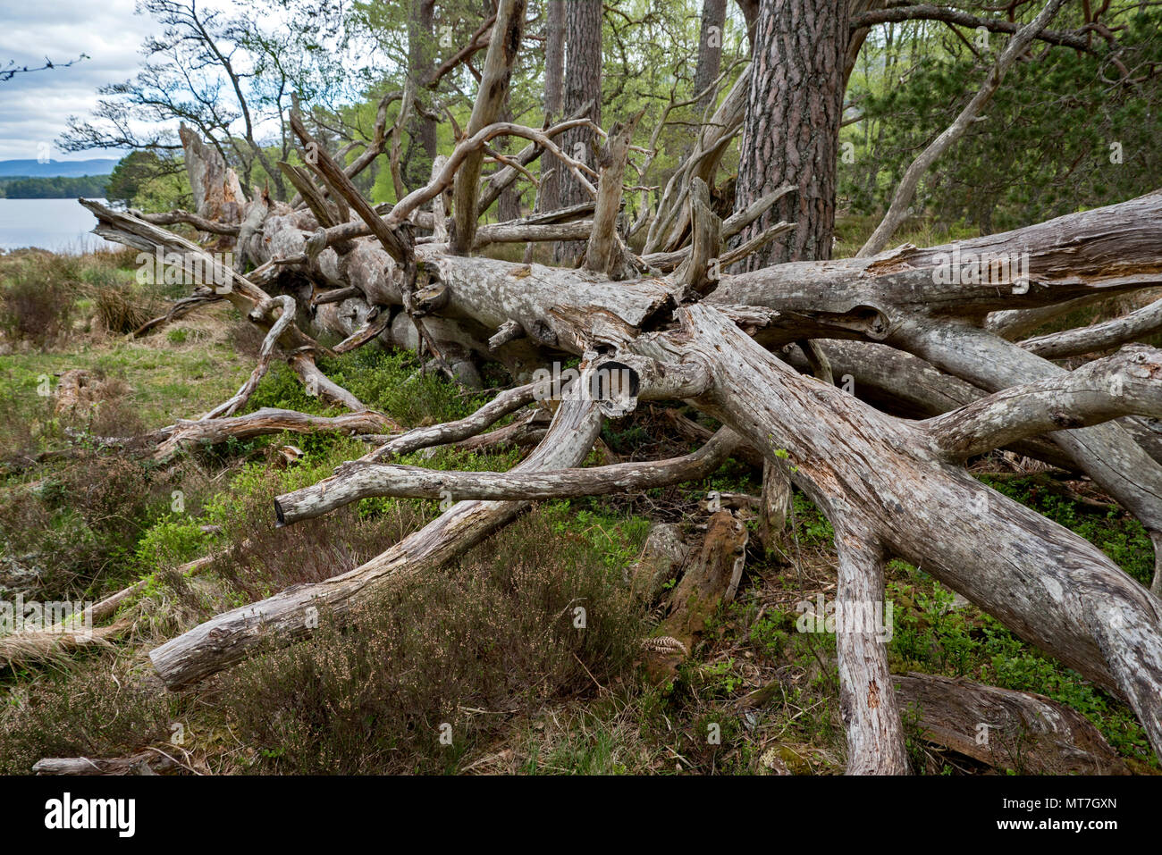 Fallen dead tree on the banks of Loch an Eilein near Aviemore in Cairngorms National Park, Scotland, UK. - Stock Image