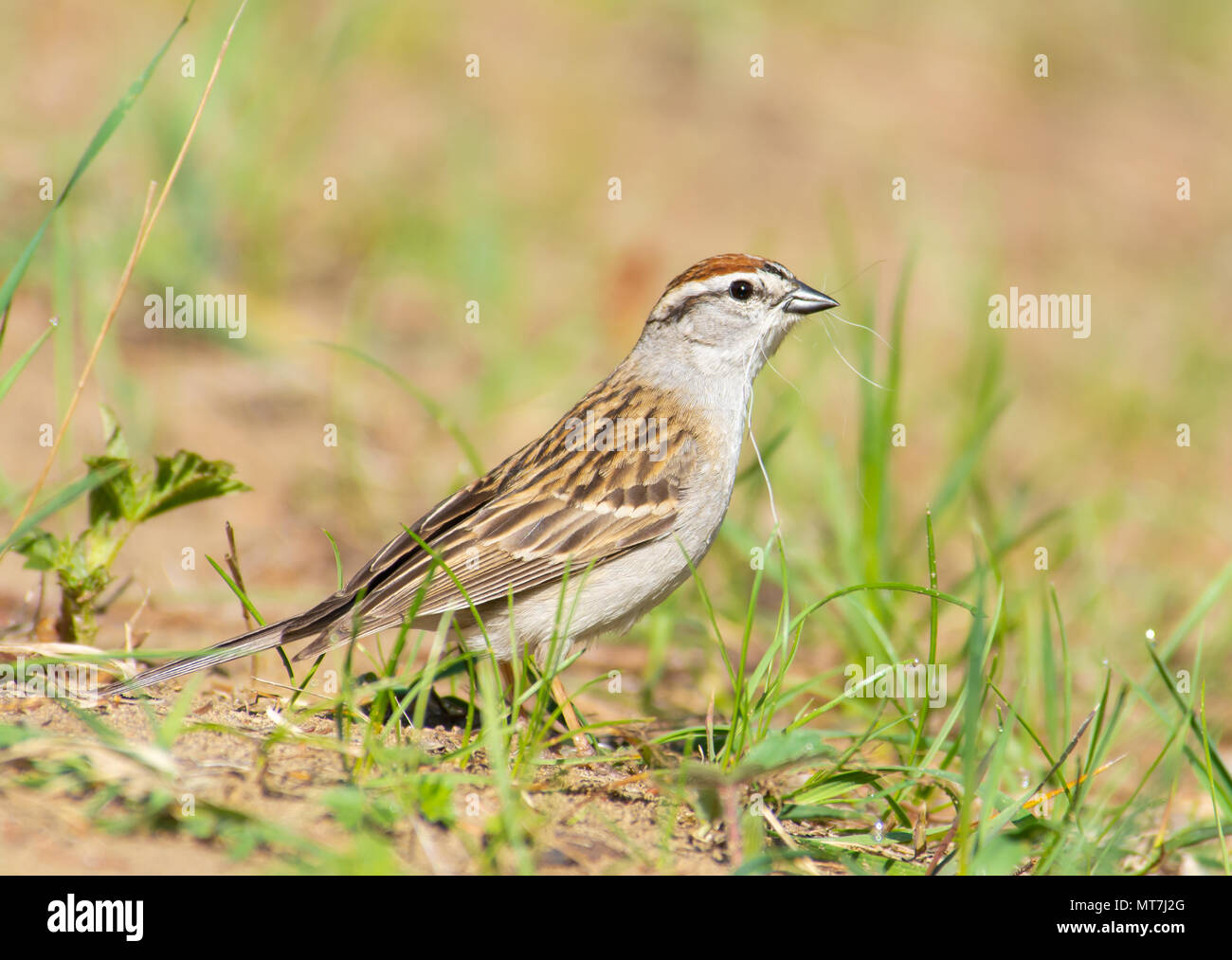 A chipping sparrow, Spizella passerina, looking for nesting material in a nature reserve in central Alberta, Canada. - Stock Image