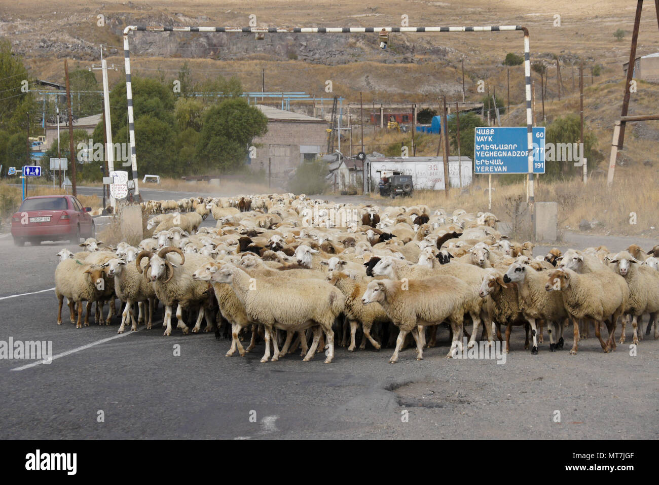 SISIAN, ARMENIA, SEPTEMBER 27, 2017. A flock of sheep walks under a gas pipeline and past a bilingual distance sign on the road through town. - Stock Image