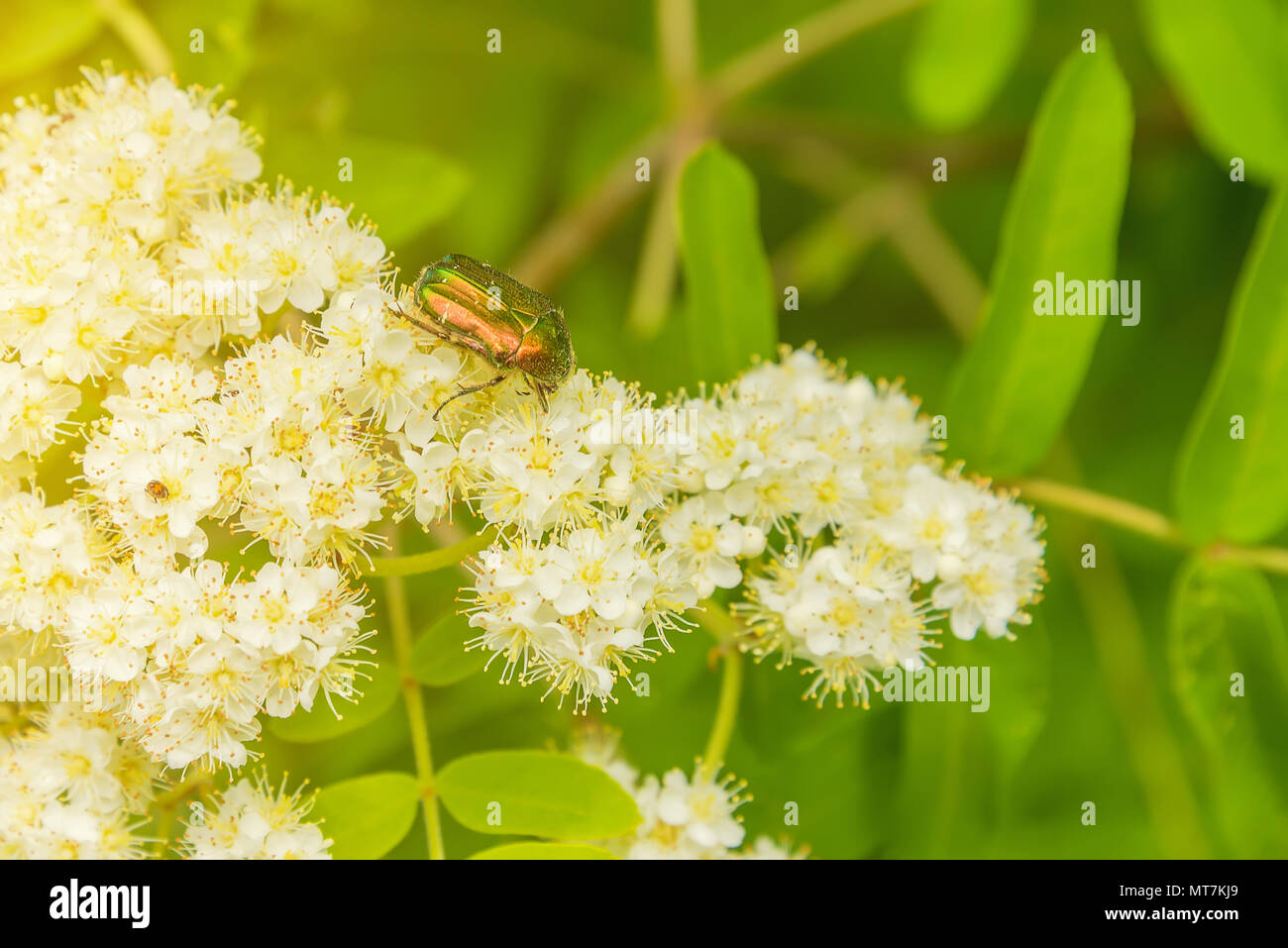 a small beetle crawling on a flower, a ladybug in the grass - Stock Image
