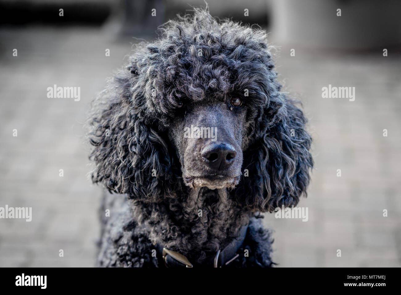 Backlit large collared black standard poodle dog with natural coat staring directly to camera on patio - headshot portrait - Stock Image