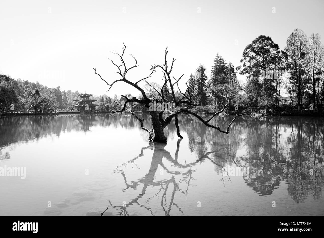 Isolated tree in the lake (Black Dragon Pool, Lijiang, Yunnan, China) - Stock Image