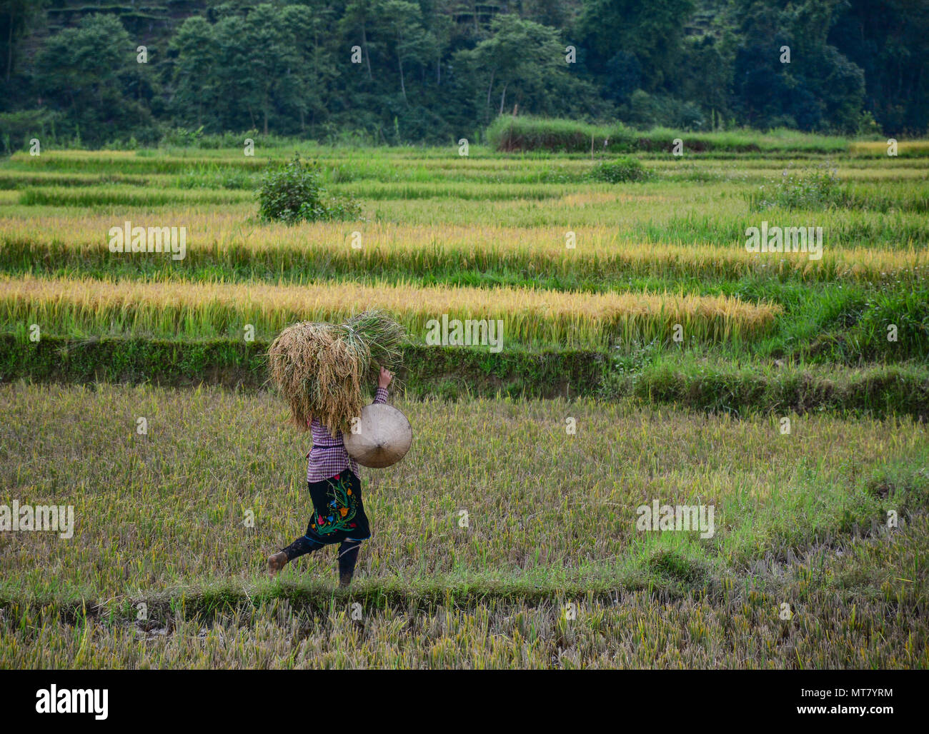 People havesting rice on the field at summer in Northern Vietnam. - Stock Image