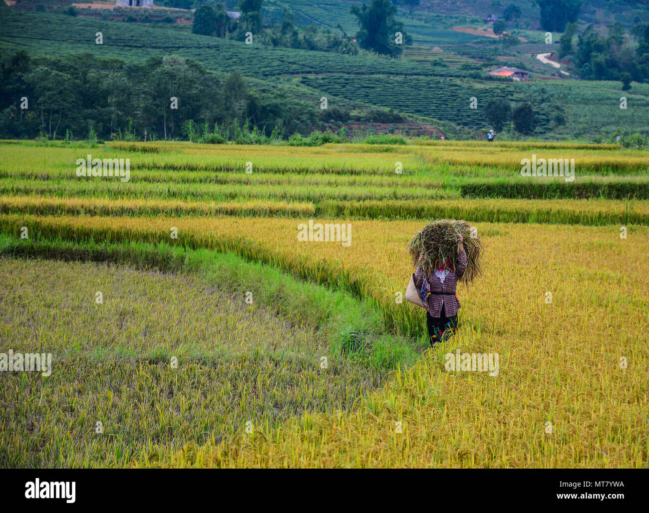 A woman havesting rice on the field at summer in Northern Vietnam. - Stock Image