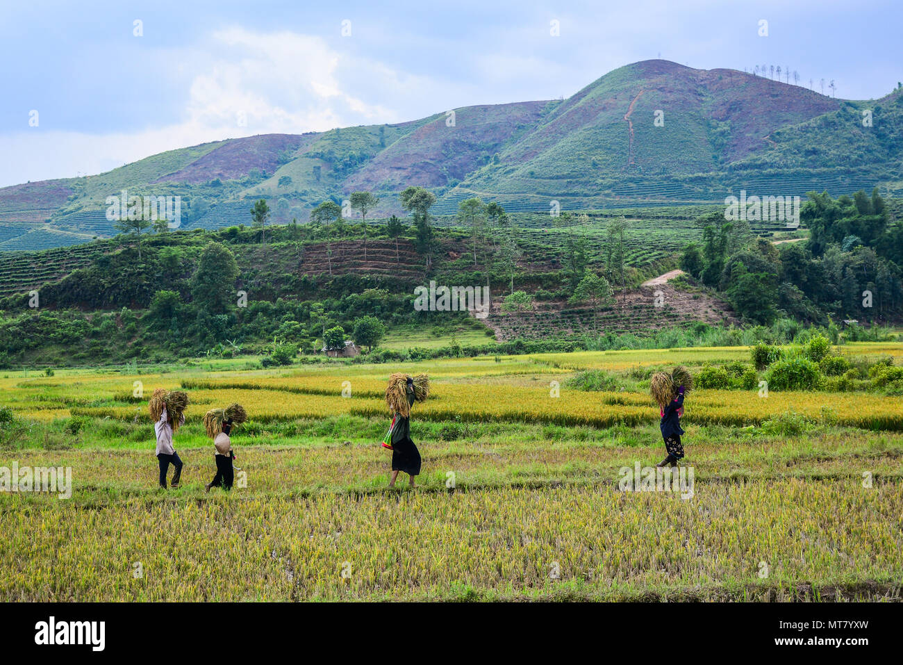 Hmong people havesting rice on the field at summer in Northern Vietnam. - Stock Image