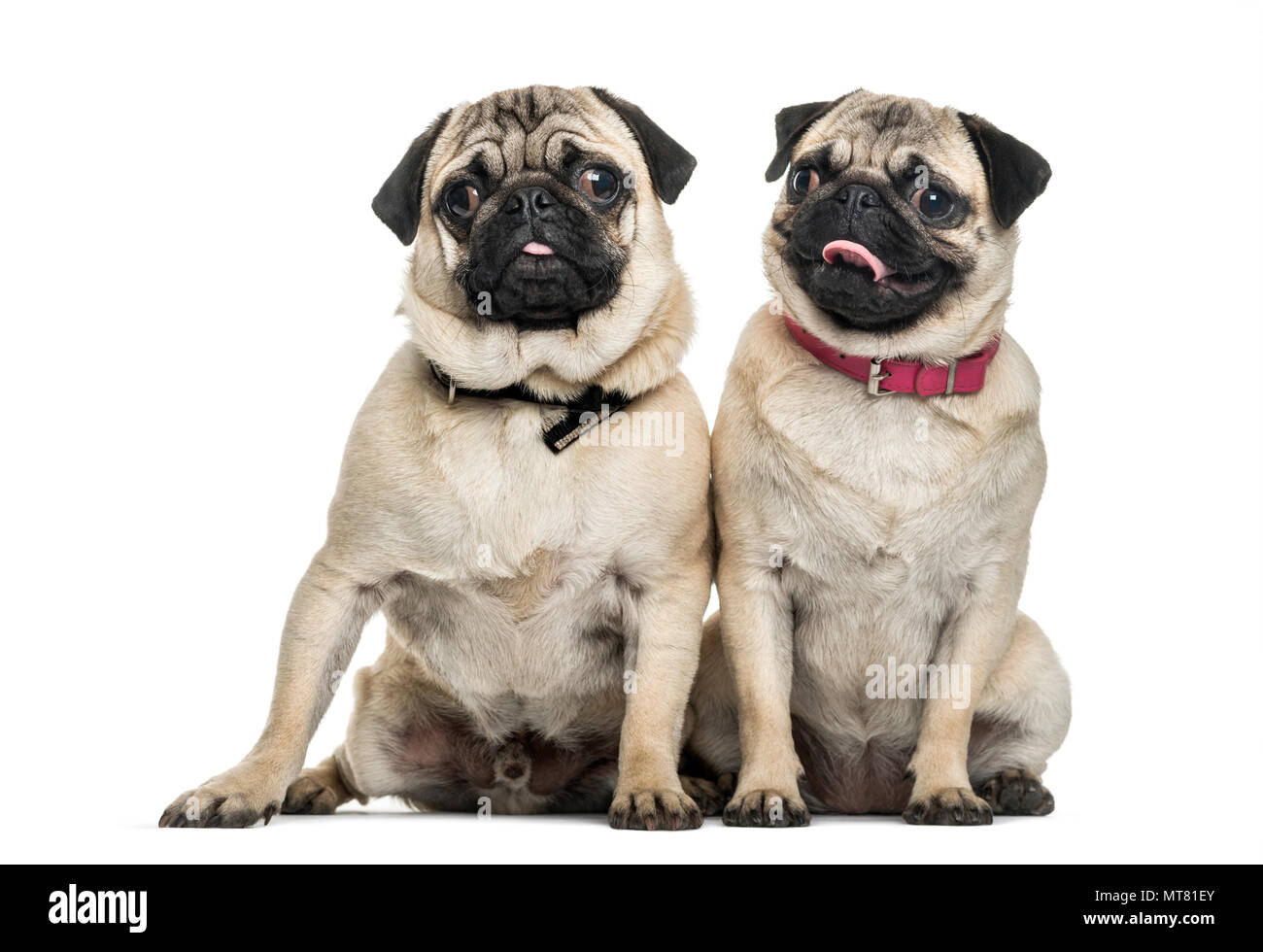 Pug dogs sitting together against white background - Stock Image