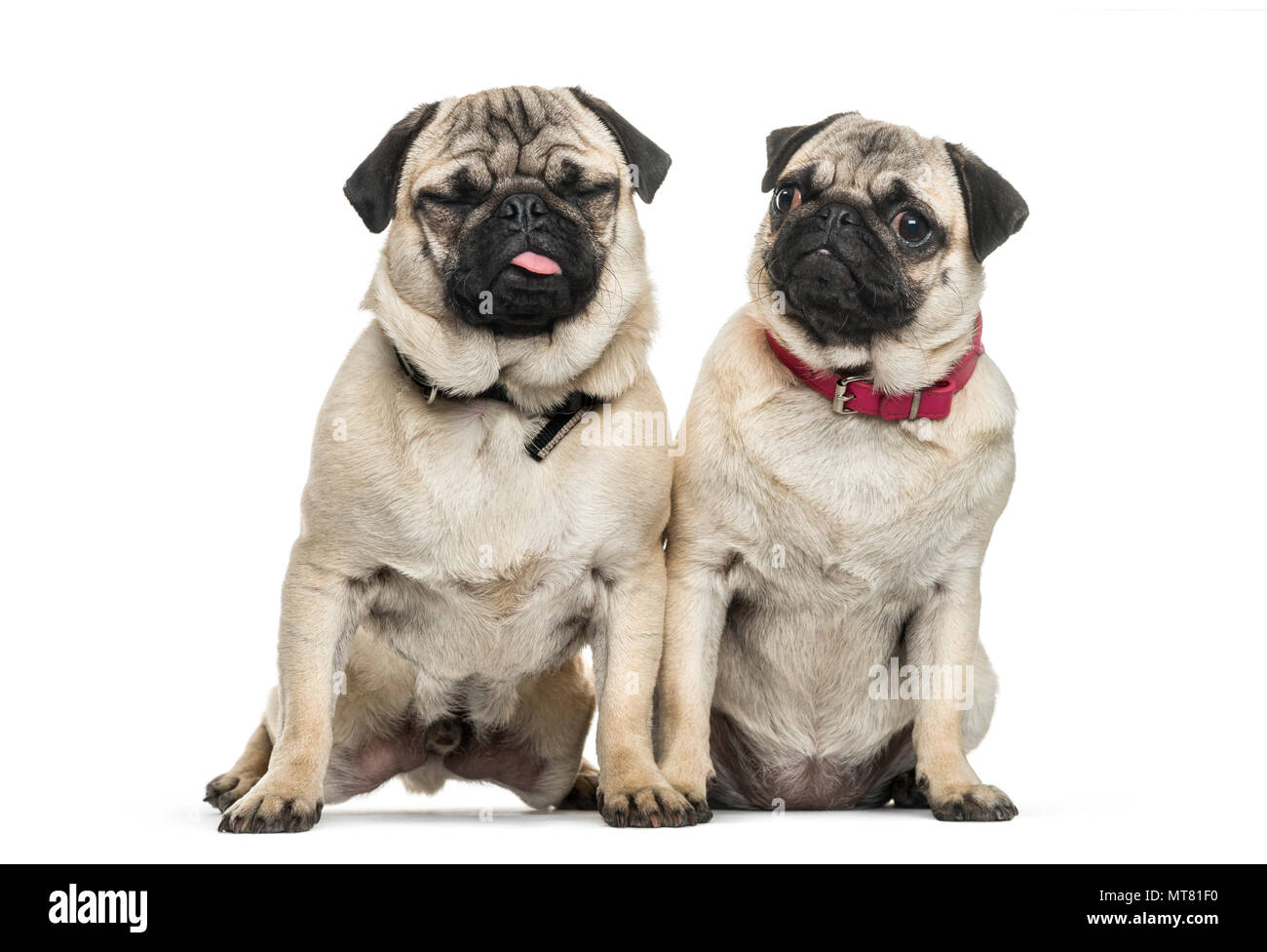Two Pug dogs sitting together against white background - Stock Image