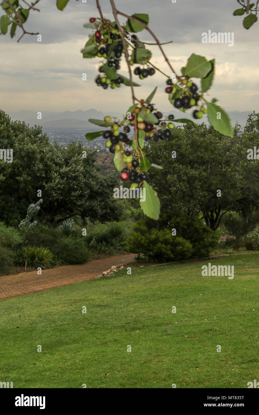 View across the lawn of Kirstenbosch botanic gardens on the Garden Route, South Africa - Stock Image