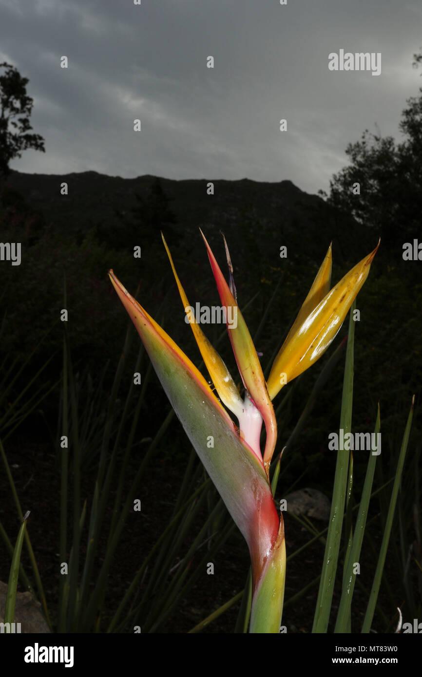 Strelitzias (Bird of paradise flower) at Kirstenbosch botanic gardens, Capetown, South Africa - Stock Image