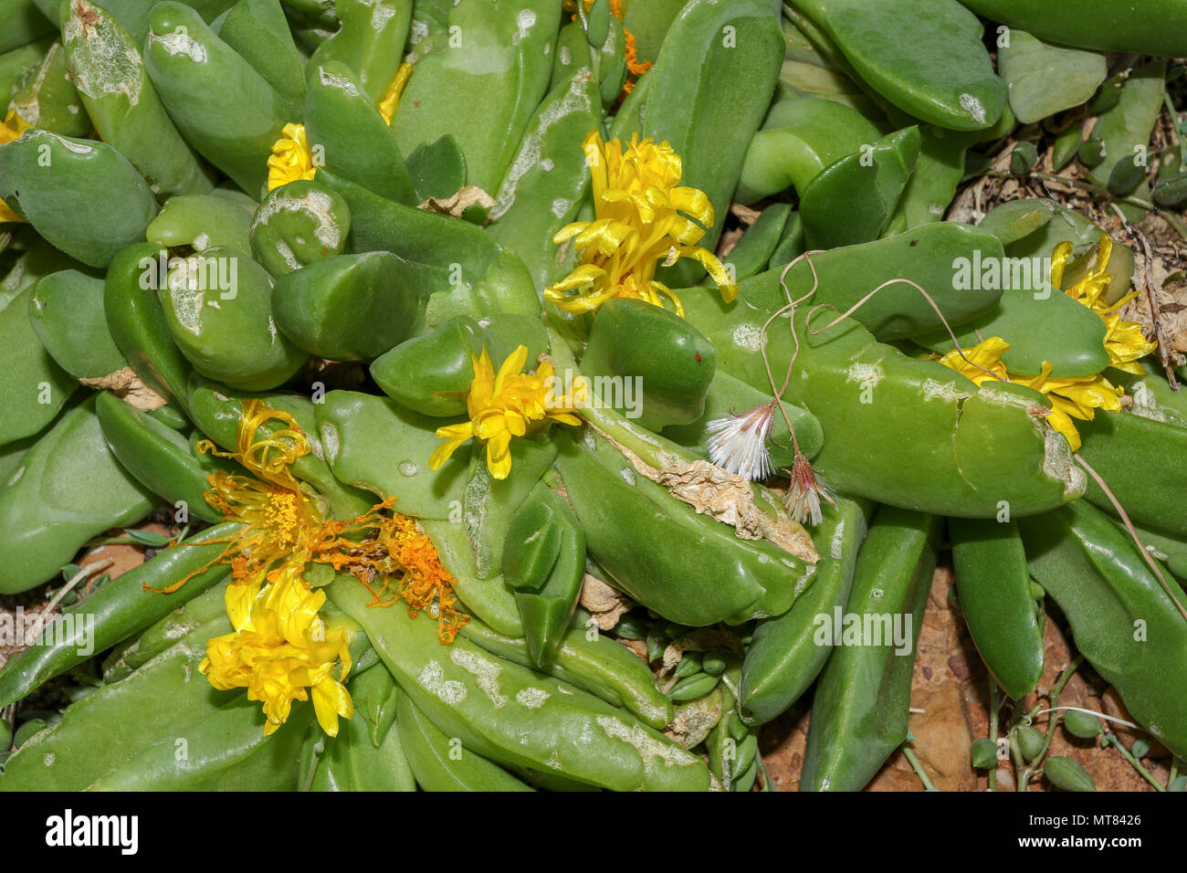 Glottiphyllum regium succulent in flower in the Kirstenbosch botanic garden, Cape town, South africa - Stock Image