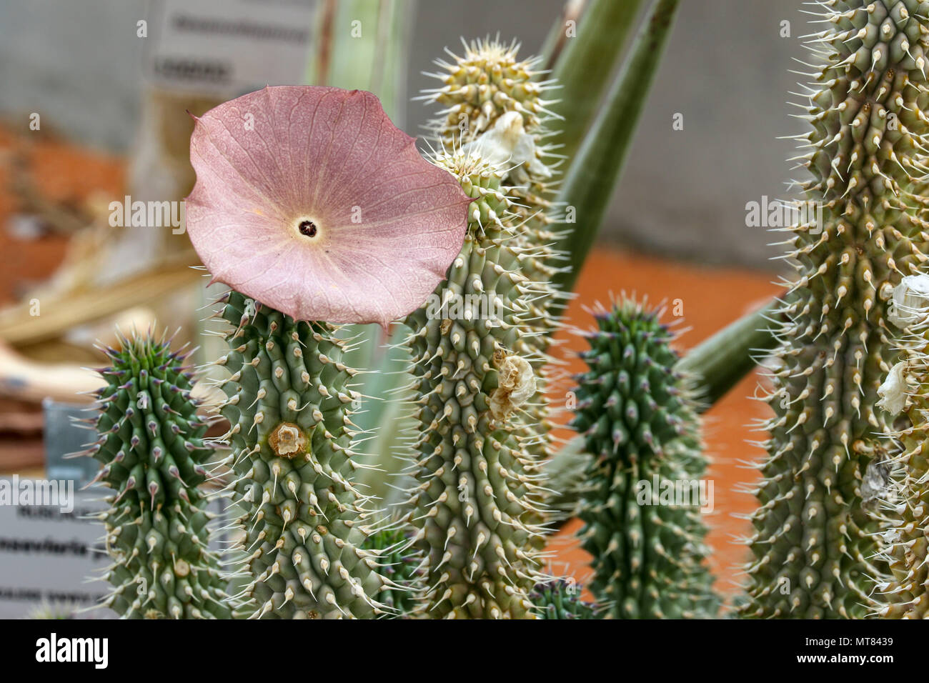 Close-up Hoodia succulent plant with single flower, Capetown, South Africa - Stock Image