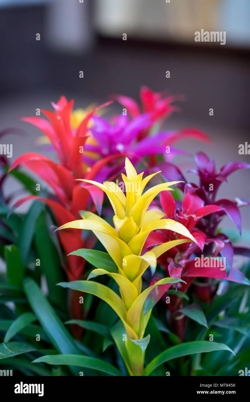 Mix of colorful bright Guzmania, fine representative of bromeliad or pineapple family. Guzmania, symbol of male power, invigorates, actively acts on men's longevity - Stock Image