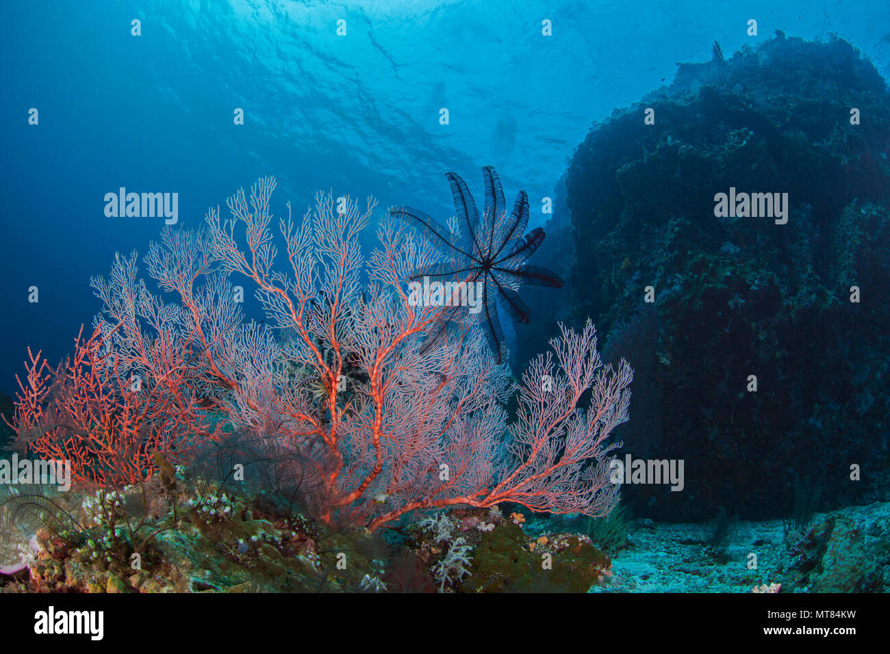 Seascape of featherstar on a bright pink seafan with coral covered bommie in blue water background. Southern Raja Ampat near Misool island, Indonesia. - Stock Image