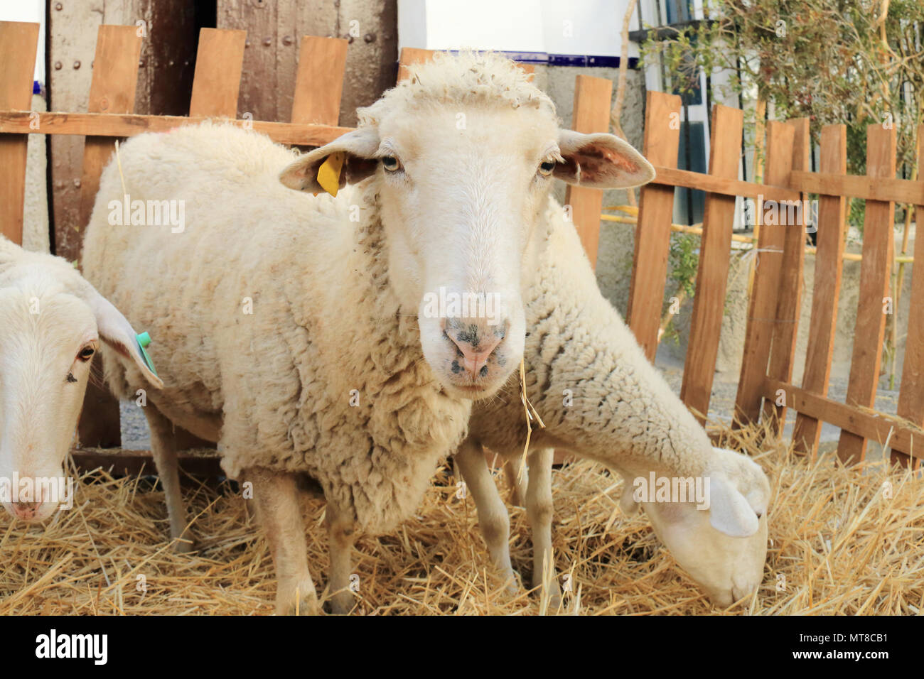 Close up portrait of sheep in a fence Stock Photo