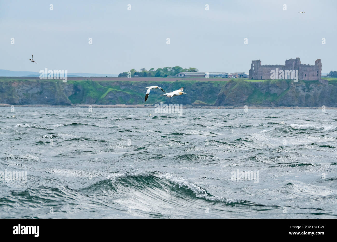 Northern gannets, Morus bassanus, flying over sea with Tantallon Castle in distance, North Berwick, Scotland, UK - Stock Image