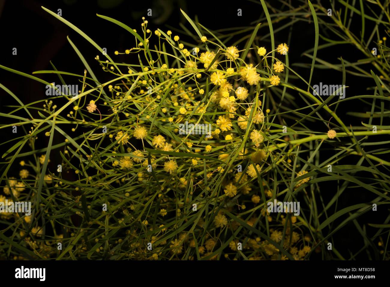 Flinders Range Wattle Acacia Iteaphylla Stock Photo 187041380 Alamy