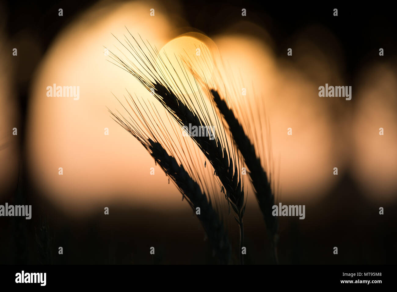 29 May 2018, Germany, Rehda-Wiedenbrueck: The sun rises behind a field of barley. Photo: Friso Gentsch/dpa - Stock Image