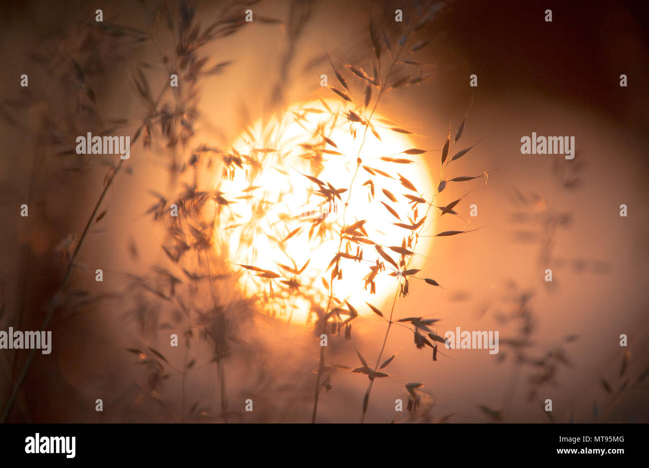 29 May 2018, Germany, Rehda-Wiedenbrueck: The sun rises in front of an oat field. Photo: Friso Gentsch/dpa - Stock Image