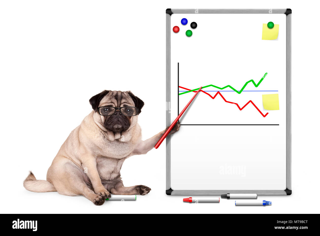 serious business pug puppy dog sitting down, pointing at white board with chart, yellow notes and magnets, isolated on white backgroundStock Photo