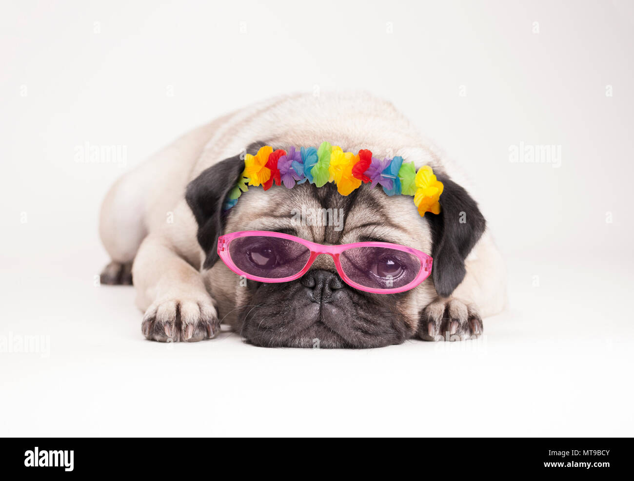 adorable pitiful pug puppy dog, lying down flat. wearing hawaiian flower garland and pink sunglasses, on white background Stock Photo