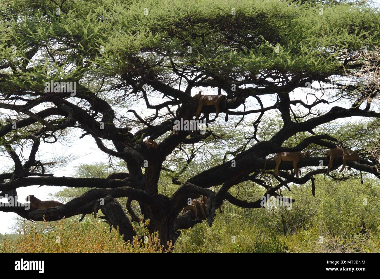 Tree climbing lions in Lake Manyara National Park - Stock Image