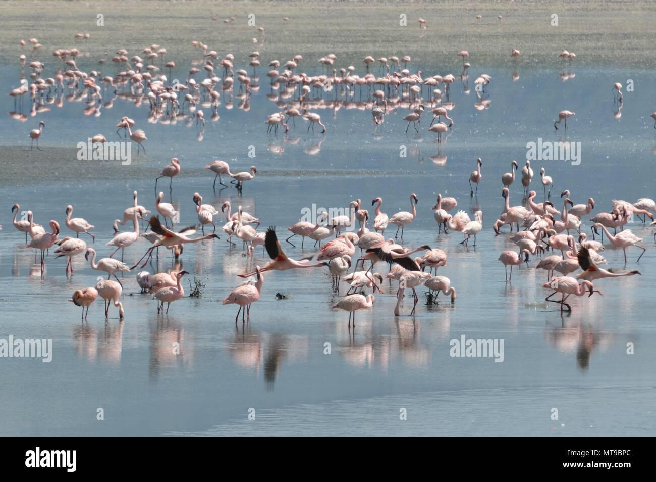 Flamingos basking in lake Manyara Stock Photo