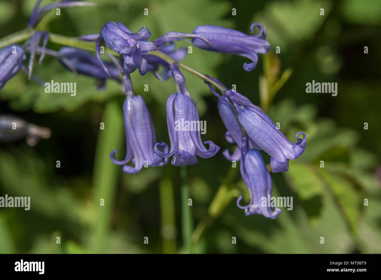 Close-up of the flowers of Bluebell (Endymion non-scriptus) in sunshine. Sometimes referred to as the English Bluebell cf. Spanish Bluebell. - Stock Image