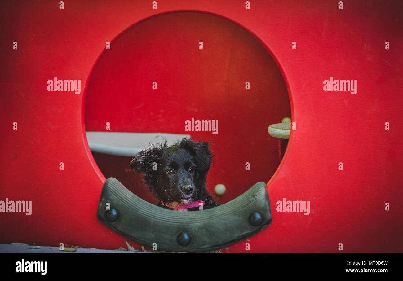 A small, black, fluffy cockapoo/shetland sheepdog puppy looks out of a circular window at a playground. - Stock Image