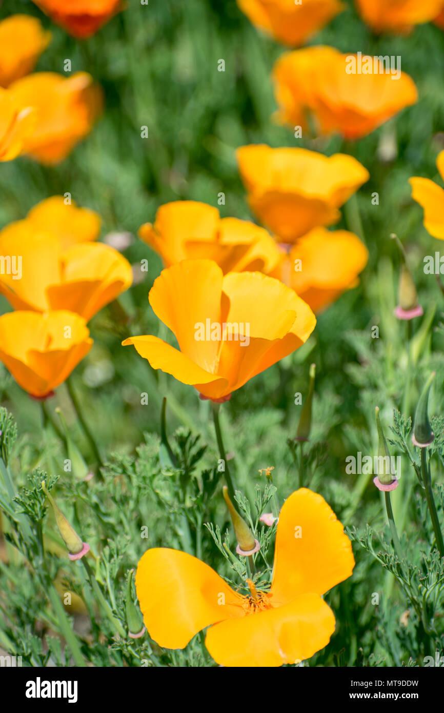 Yellow Poppies Green Background Orange Flowers Stock Photo