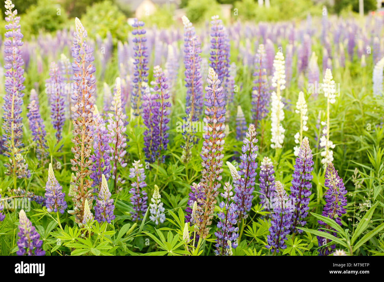Lupine Field With Pink Purple And Blue Flowers Bunch Of Lupines
