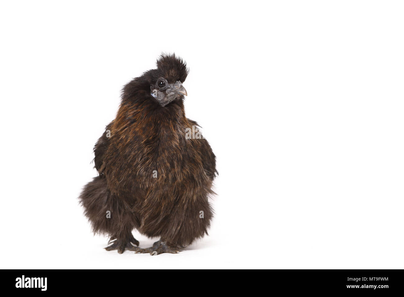 Domestic Chicken, Silkie, Silky. Adult standing, seen head-on. Studio picture against a white background - Stock Image