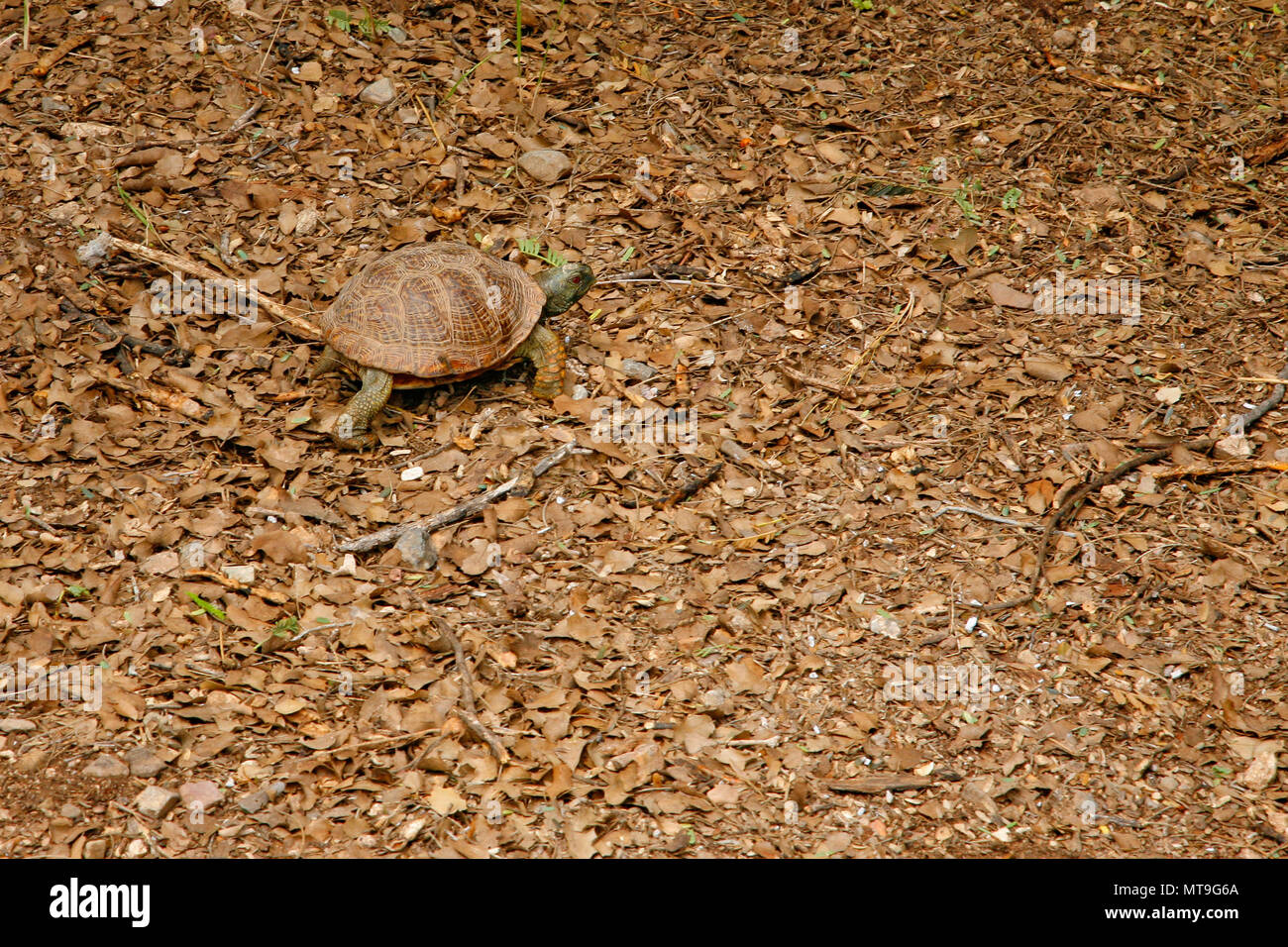desert tortoise in the sand walking, slow-moving land-dwelling reptile with a large dome-shaped shel, Testudinidae - Stock Image