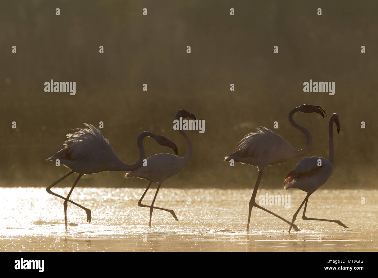Greater Flamingo (Phoenicopterus roseus). Quarrelling at a cold and misty morning at the Laguna de Fuente de Piedra near the town of Antequera. This is the largest natural lake in Andalusia and Europe's only inland breeding ground for this species. Malaga province, Andalusia, Spain - Stock Image
