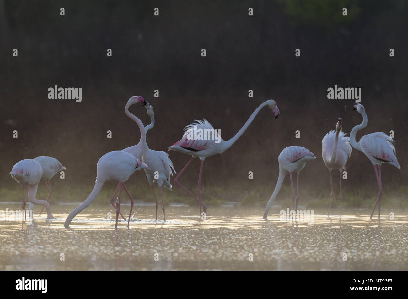 Greater Flamingo (Phoenicopterus roseus). Feeding and quarrelling at a cold and misty morning. At the Laguna de Fuente de Piedra near the town of Antequera. This is the largest natural lake in Andalusia and Europe's only inland breeding ground for this species. Malaga province, Andalusia, Spain. - Stock Image