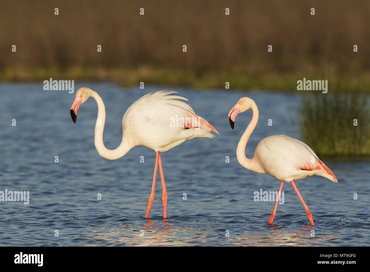 Greater Flamingo (Phoenicopterus roseus). Male on the left and female at the Laguna de Fuente de Piedra near the town of Antequera. This is the largest natural lake in Andalusia and Europe's only inland breeding ground for this species. Malaga province, Andalusia, Spain. - Stock Image