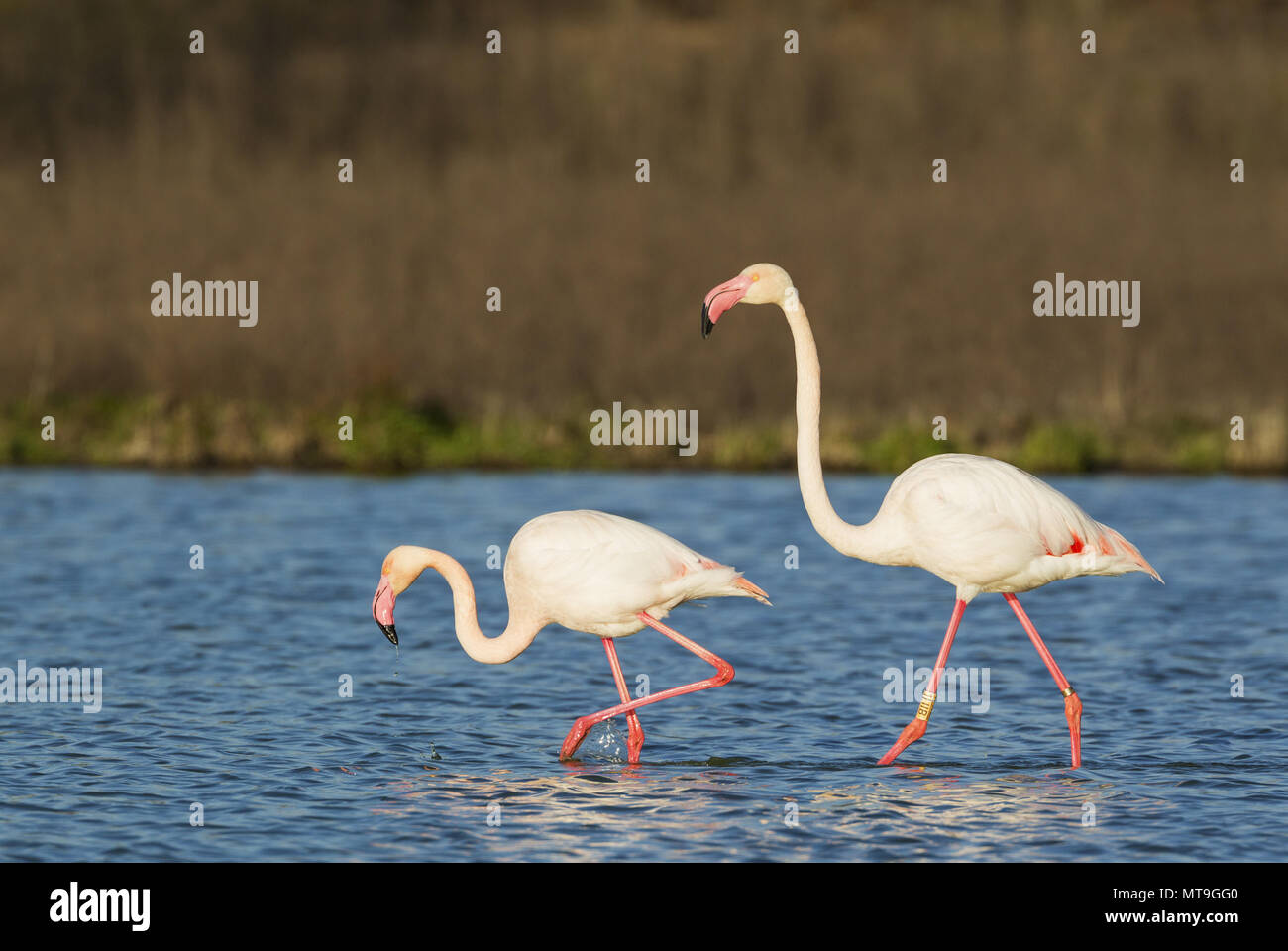 Greater Flamingo (Phoenicopterus roseus). A male in the mood for mating follows a female. At the Laguna de Fuente de Piedra near the town of Antequera. This is the largest natural lake in Andalusia and Europe's only inland breeding ground for this species. Malaga province, Andalusia, Spain. - Stock Image