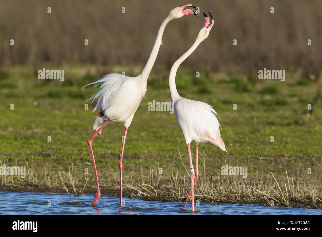 Greater Flamingo (Phoenicopterus roseus). Quarrel between two birds at the Laguna de Fuente de Piedra near the town of Antequera. This is the largest natural lake in Andalusia and Europe's only inland breeding ground for this species. Malaga province, Andalusia, Spain. - Stock Image