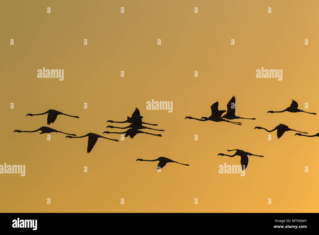 Greater Flamingo (Phoenicopterus roseus). Flying at sunset at the Laguna de Fuente de Piedra near the town of Antequera. This is the largest natural lake in Andalusia and Europe's only inland breeding ground for this species. Malaga province, Andalusia, Spain. - Stock Image