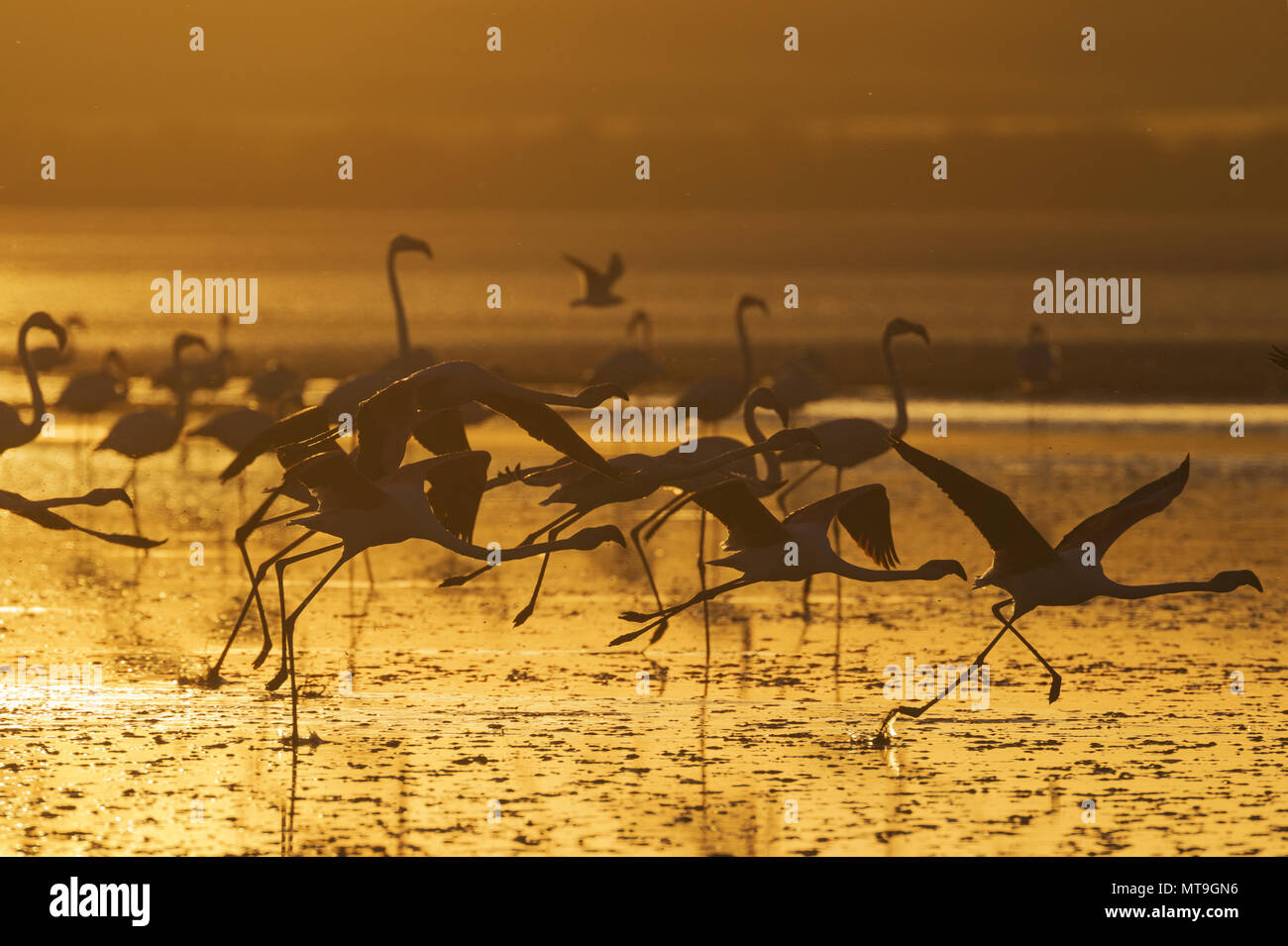 Greater Flamingo (Phoenicopterus roseus). Group taking-off at sunset at the Laguna de Fuente de Piedra near the town of Antequera. This is the largest natural lake in Andalusia and Europe's only inland breeding ground for this species. Malaga province, Andalusia, Spain. - Stock Image