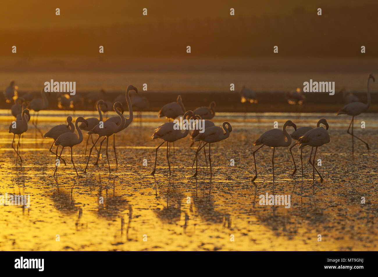 Greater Flamingo (Phoenicopterus roseus). At sunset at the Laguna de Fuente de Piedra near the town of Antequera. This is the largest natural lake in Andalusia and Europe's only inland breeding ground for this species. Malaga province, Andalusia, Spain. - Stock Image