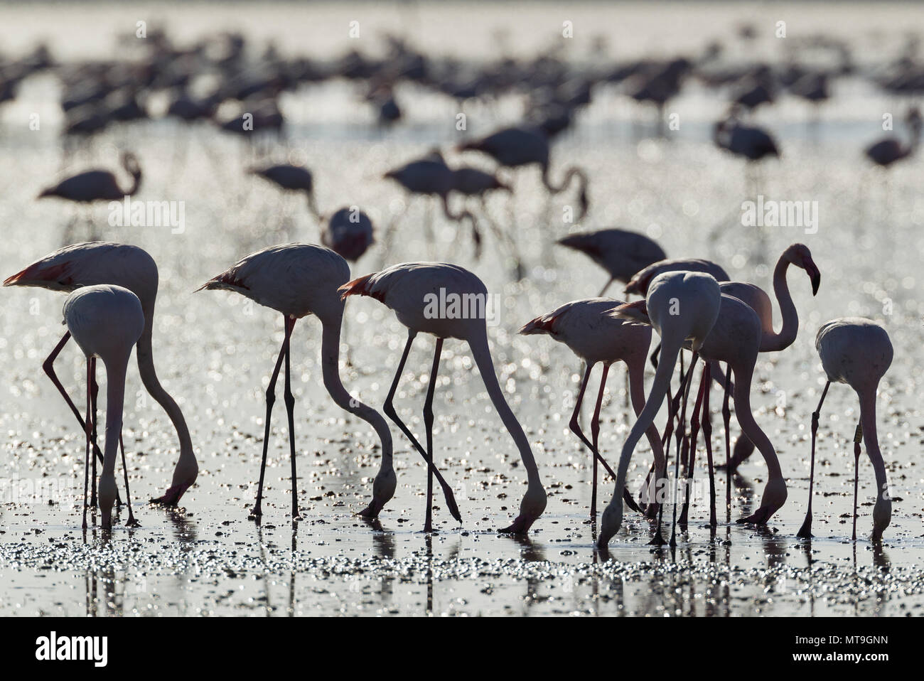 Greater Flamingo (Phoenicopterus roseus). Feeding by filtering the water with their beaks. At the Laguna de Fuente de Piedra near the town of Antequera. This is the largest natural lake in Andalusia and Europe's only inland breeding ground for this species. Malaga province, Andalusia, Spain. Stock Photo