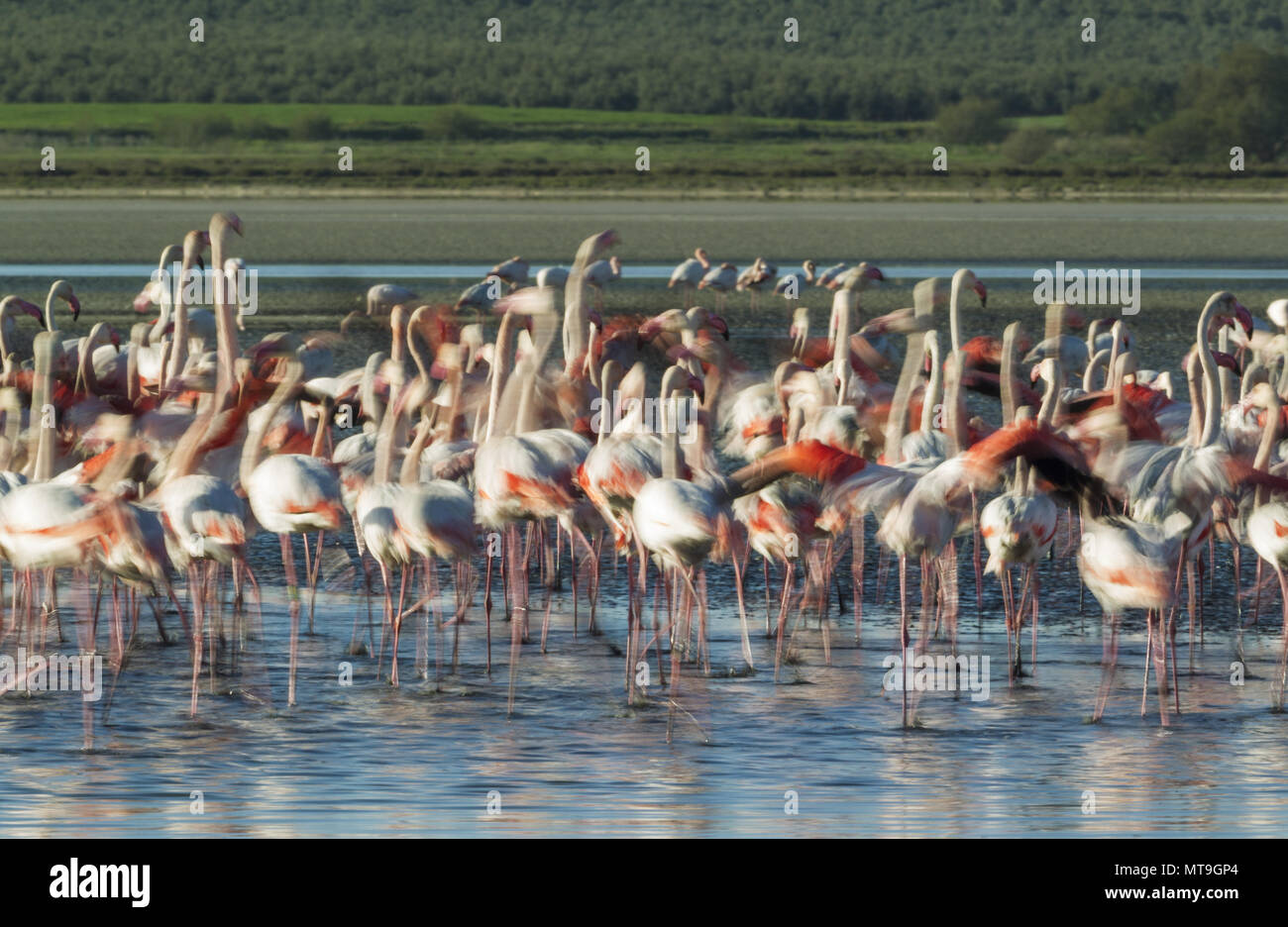 Greater Flamingo (Phoenicopterus roseus). Nervous at the Laguna de Fuente de Piedra near the town of Antequera. This is the largest natural lake in Andalusia and Europe's only inland breeding ground for this species. Blurred effect by panning the camera. Malaga province, Andalusia, Spain. - Stock Image