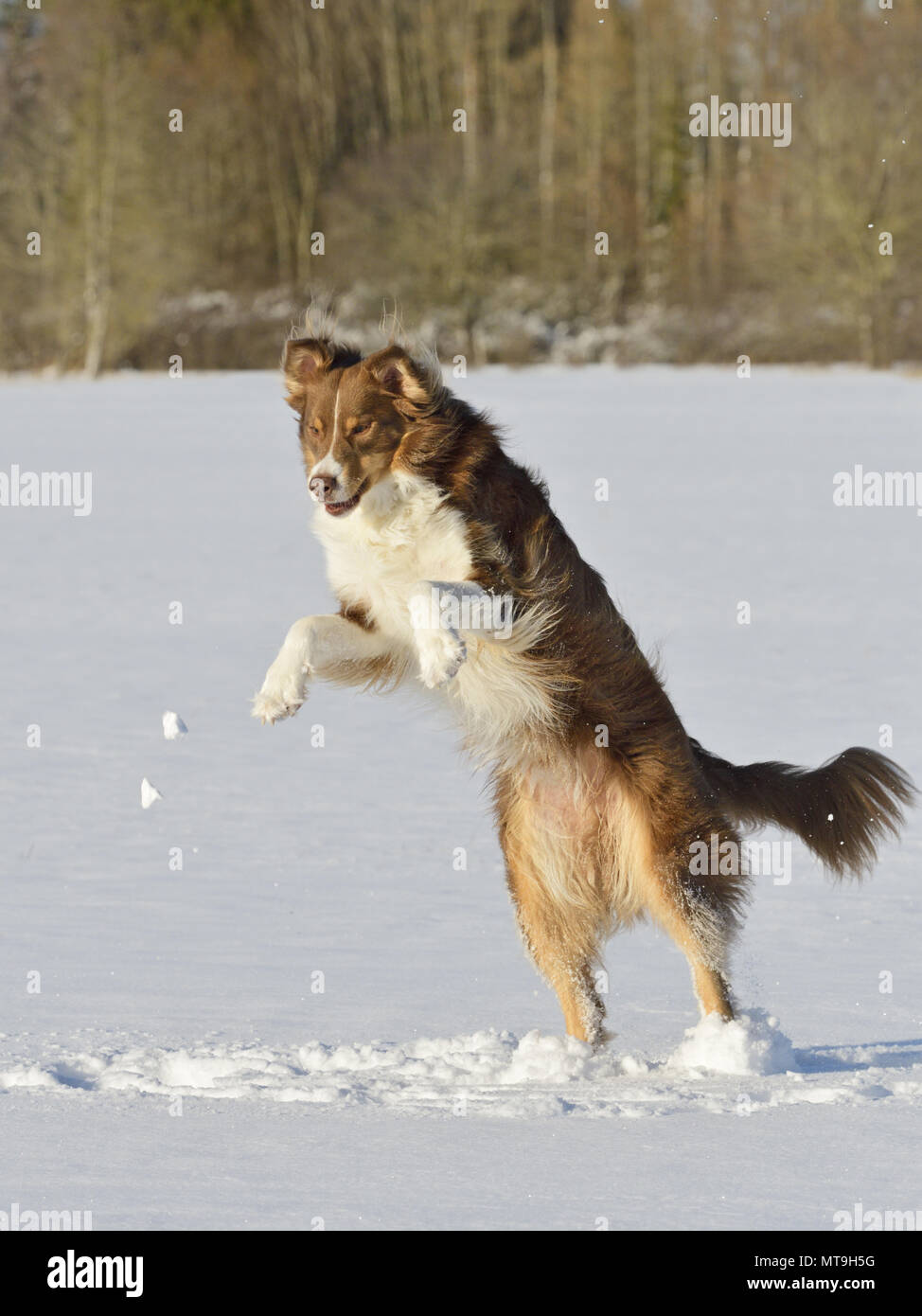 Australian Shepherd. Adult dog leaping in snow. Germany - Stock Image