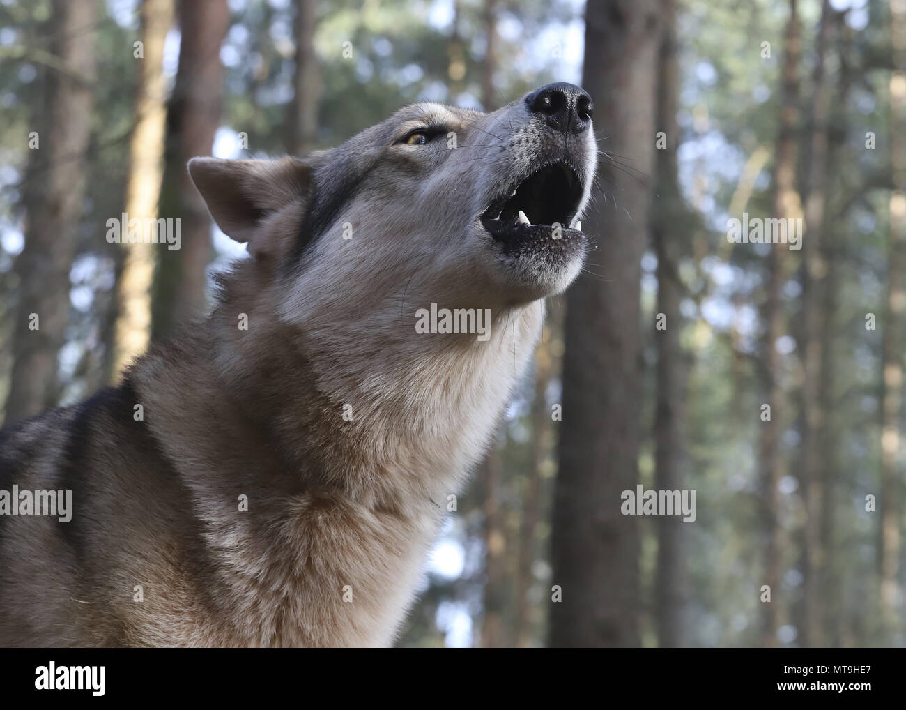 Czechoslovakian Wolfdog. Portrait of adult dog, howling. Germany - Stock Image