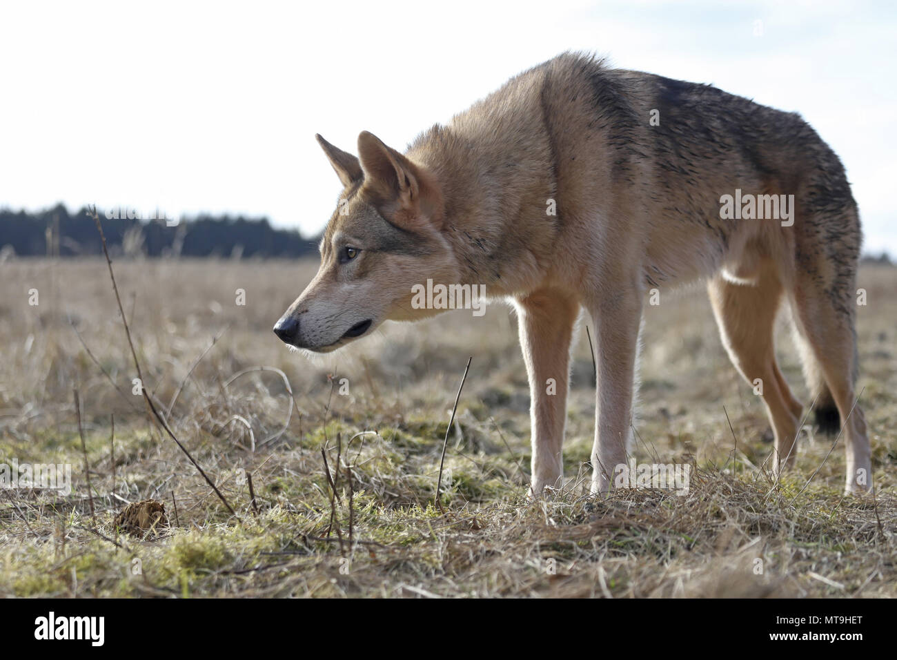 Czechoslovakian Wolfdog. Adult dog standing on a meadow. Germany - Stock Image