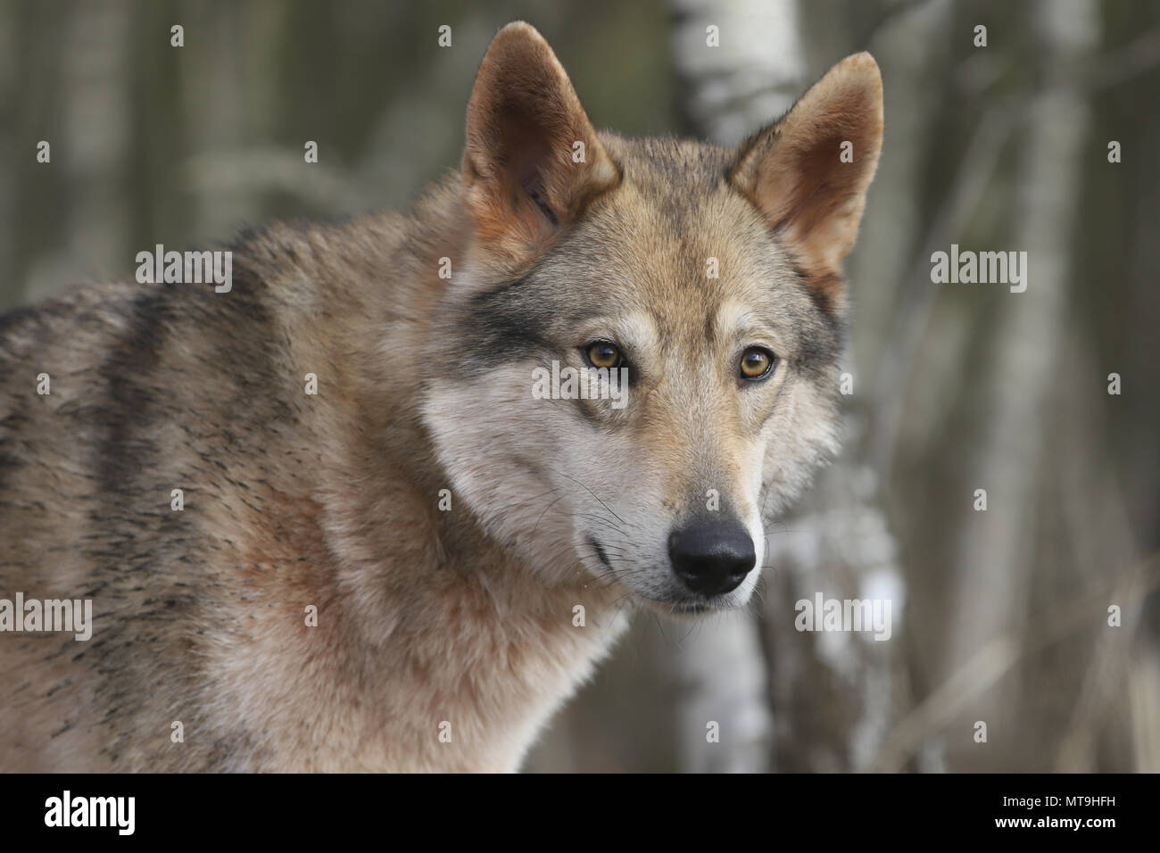 Czechoslovakian Wolfdog. Portrait of adult dog. Germany - Stock Image
