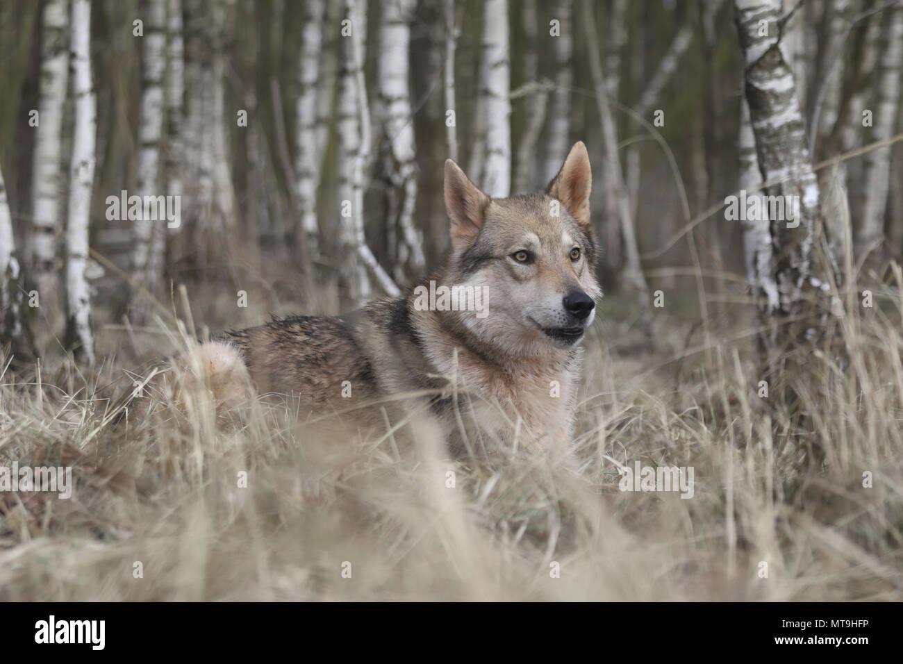 Czechoslovakian Wolfdog. Adult dog lying in a Birch forest. Germany - Stock Image